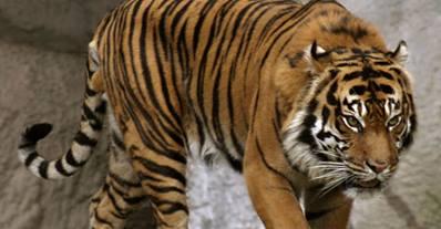 بالفيديو .. نمر يهاجم مجموعة هنود ويصيب أحدهم