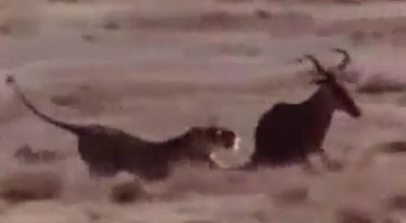 بالفيديو: 20 دقيقه من أقوى هجوم الحيوانات المفترسة