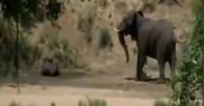 """بالفيديو .. فيل ينقذ """"جاموس"""" من اللبوة"""