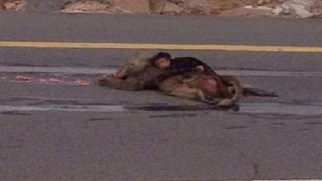 صورة محزنة لقرد صغير يحتضن أمه بعد نفوقها على أحد الطرق