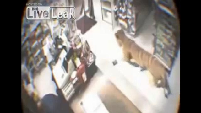 بالفيديو .. نمر يدخل محلاً تجارياً ويثير الذعر بداخله