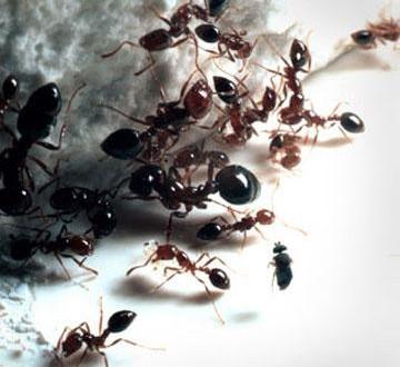 طرق مختلفة للتخلص من هجوم النمل