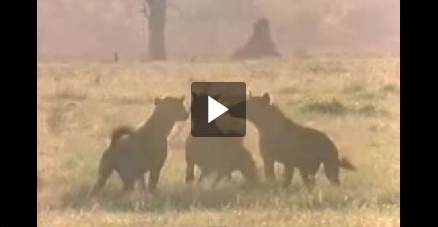 فيديو: معركة بين الأسود والضباع