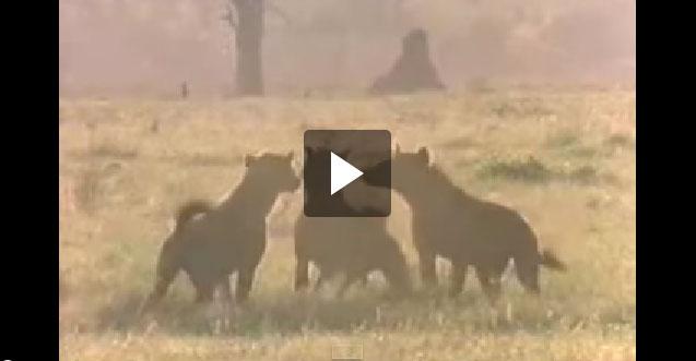 بالفيديو معركة بين الأسود والضباع