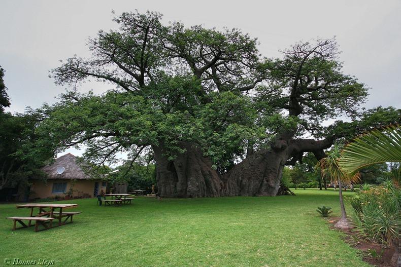 شجرة المطعم